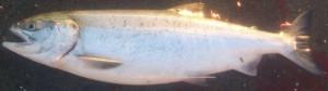 大輔 鮭2
